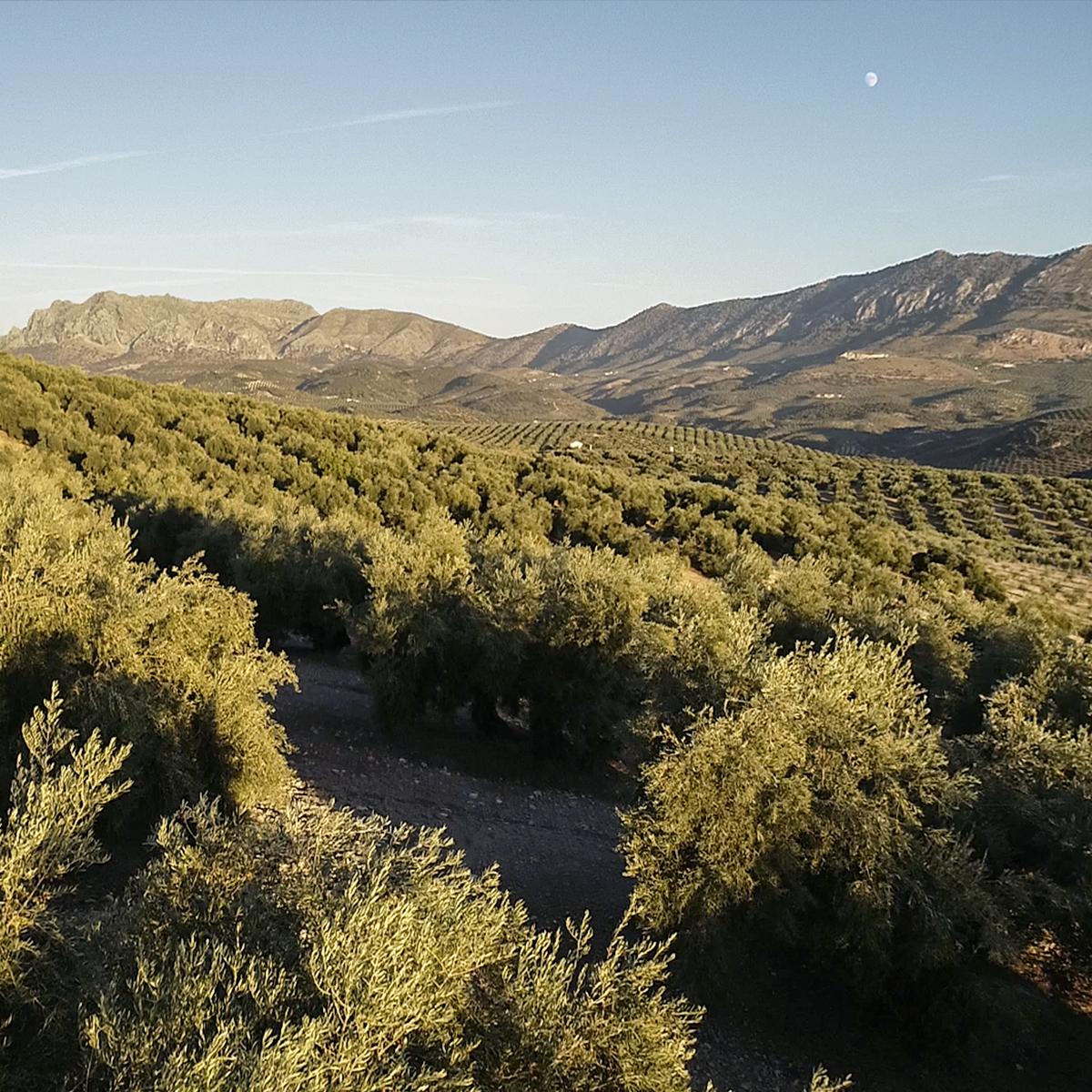 030 – apdrina un olivo